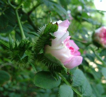 Rosa roxburghii 3 flower