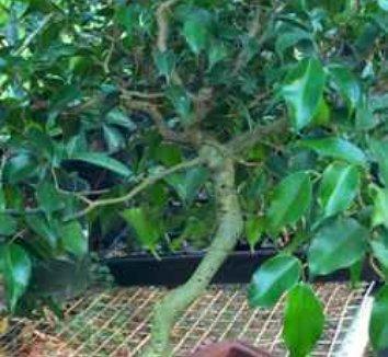 Ficus benjamina 'Contorta' 1 Tree