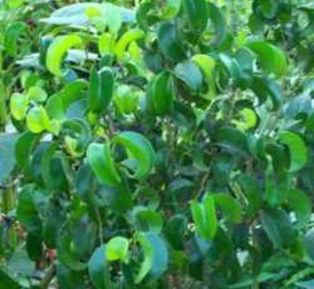Ficus benjamina 'Pandora' 1