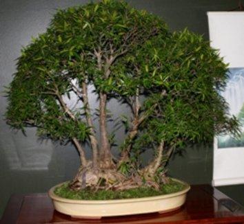 Ficus salicifolia 1 form