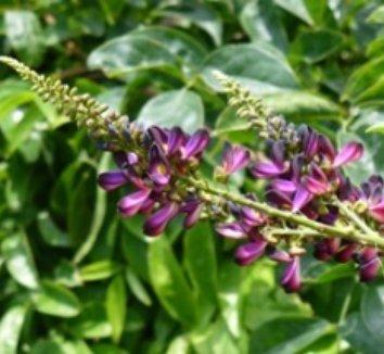 Callerya reticulata 1 flower