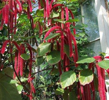 Acalypha hispida 1 flower