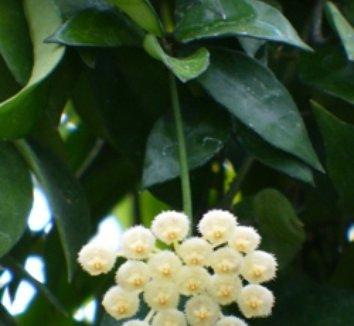 Hoya lacunosa 1 flower