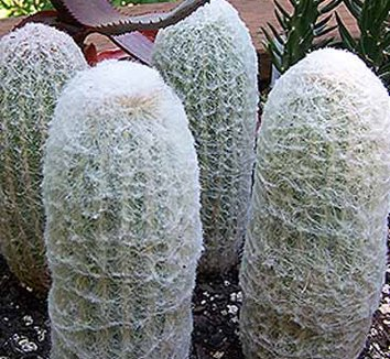 Espostoa lanata 2 form