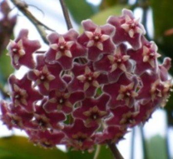 Hoya purpureofusca 1 flower