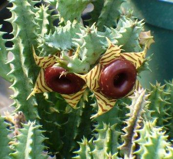 Huernia insigniflora 1 flower, form