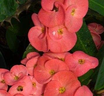 Euphorbia milii var. splendens 'Pink' 1 flower