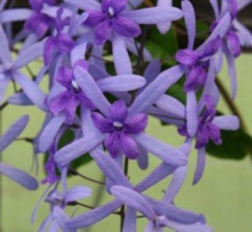 Petrea volubilis 1 flower
