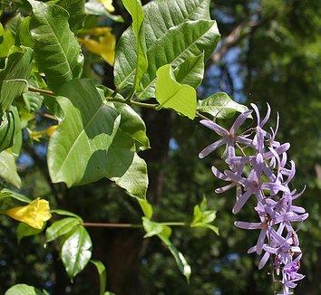 Petrea volubilis 5 flower