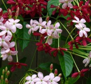 Quisqualis indica 1 flower