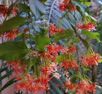 Quisqualis indica 7 flower