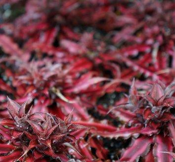 Cryptanthus bivittatus 'Ruby' 1