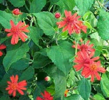 Senecio confusus 'Sao Paulo' 1 flower