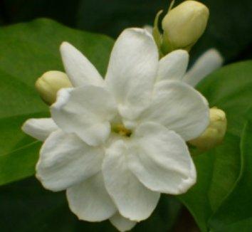Jasminum sambac 1 flower