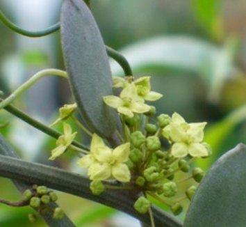 Xerosicyos danguyi 4 flower