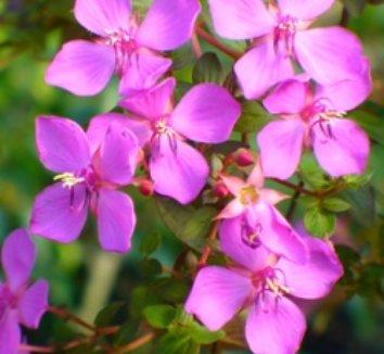 Heterocentron elegans 1 flower