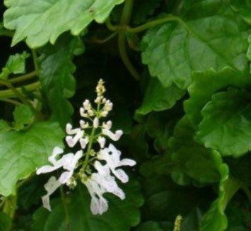 Plectranthus parviflorus 1 flower