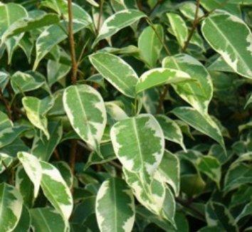 Ficus benjamina 'Variegata' 1