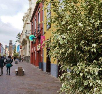 Ficus benjamina 'Variegata' 8