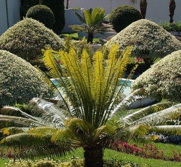 Ficus benjamina 'Variegata' 5