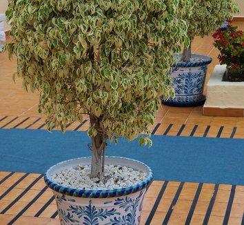 Ficus benjamina 'Variegata' 3