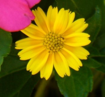 Wedelia trilobata 5 flower