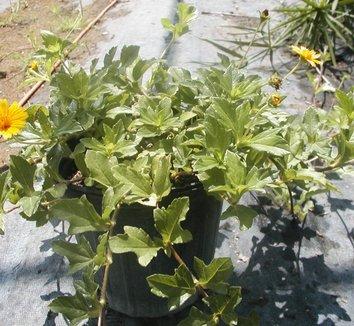 Wedelia trilobata 6 flower
