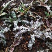 Cryptanthus 'Zebrina'