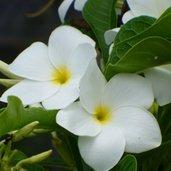 Plumeria pudica 'Bridal Bouquet'
