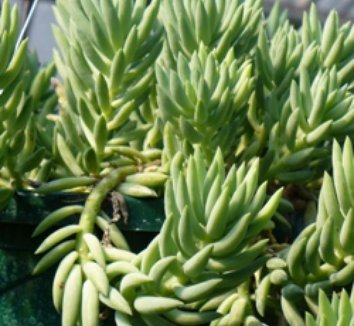 Sedum species 'Giant Burro's Tail' 1