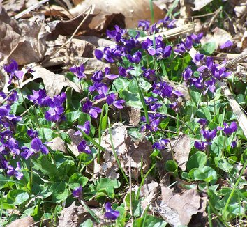 Viola odorata 1 flower