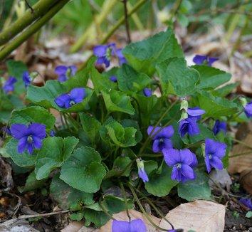 Viola odorata 7 flower