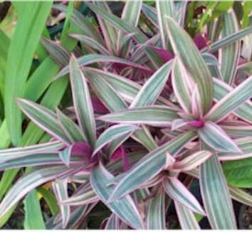 Tradescantia spathacea 'Tricolor' 1