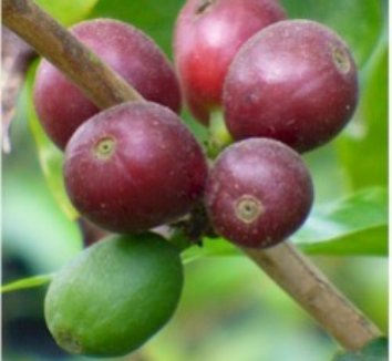Coffea arabica 1