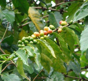 Coffea arabica 5
