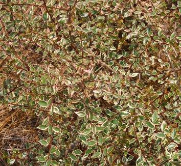 Abelia x grandiflora 'Hopleys' 3