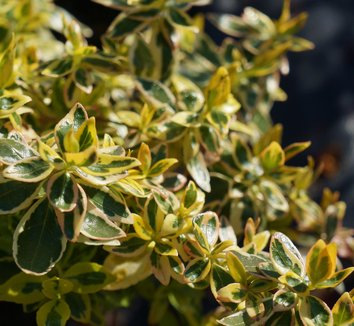 Abelia x grandiflora 'Hopleys' 1