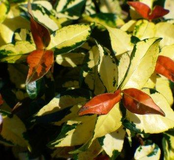 Trachelospermum asiaticum 'Salsa' 1