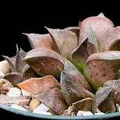 Haworthia 'Chocolate'