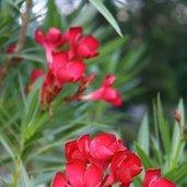 Nerium oleander 'Cherry Ripe'