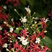 Quisqualis indica 'Flora-Plena'