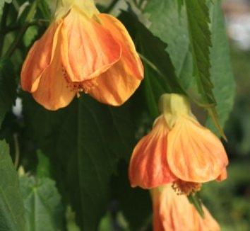 Abutilon x 'Peaches' 1 flower