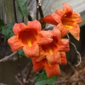 Bignonia capreolata 'Helen Fredel'