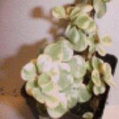 Portulacaria afra 'folis variegatis'