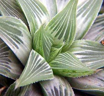 Haworthia magnifica var. acuminata 'Grey Ghost' 1