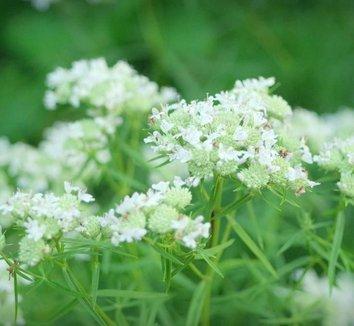 Pycnanthemum tenuifolium 4 flower