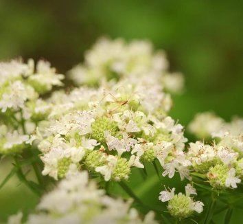 Pycnanthemum tenuifolium 5 flower