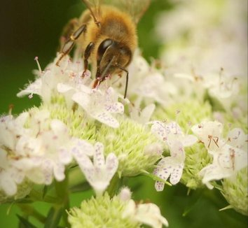Pycnanthemum tenuifolium 6 flower