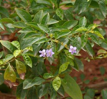 Duranta erecta 1 flower