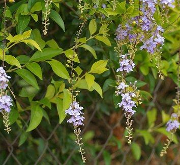 Duranta erecta 2 flower